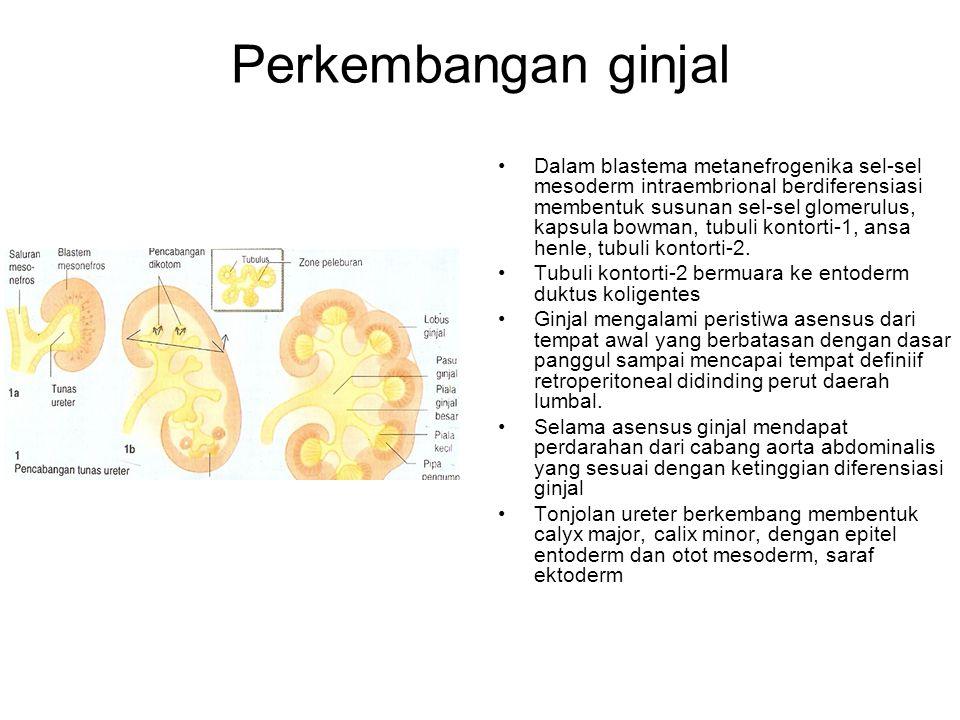 Perkembangan ginjal Dalam blastema metanefrogenika sel-sel mesoderm intraembrional berdiferensiasi membentuk susunan sel-sel glomerulus, kapsula bowma