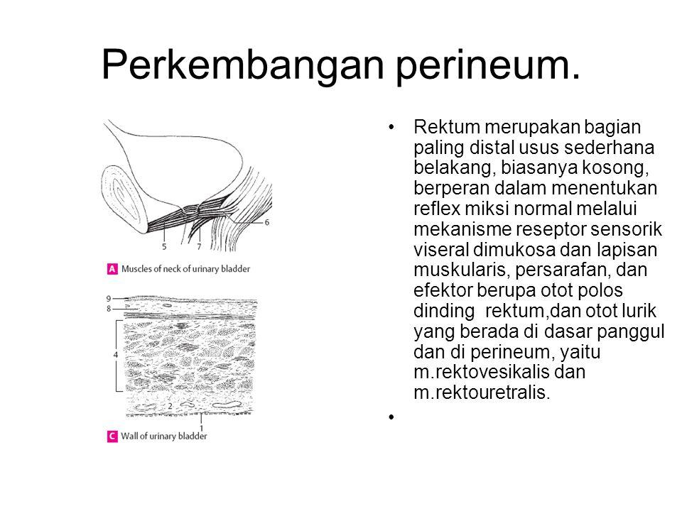 Perkembangan perineum. Rektum merupakan bagian paling distal usus sederhana belakang, biasanya kosong, berperan dalam menentukan reflex miksi normal m