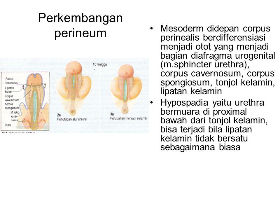 Perkembangan perineum Mesoderm didepan corpus perinealis berdifferensiasi menjadi otot yang menjadi bagian diafragma urogenital (m.sphincter urethra),