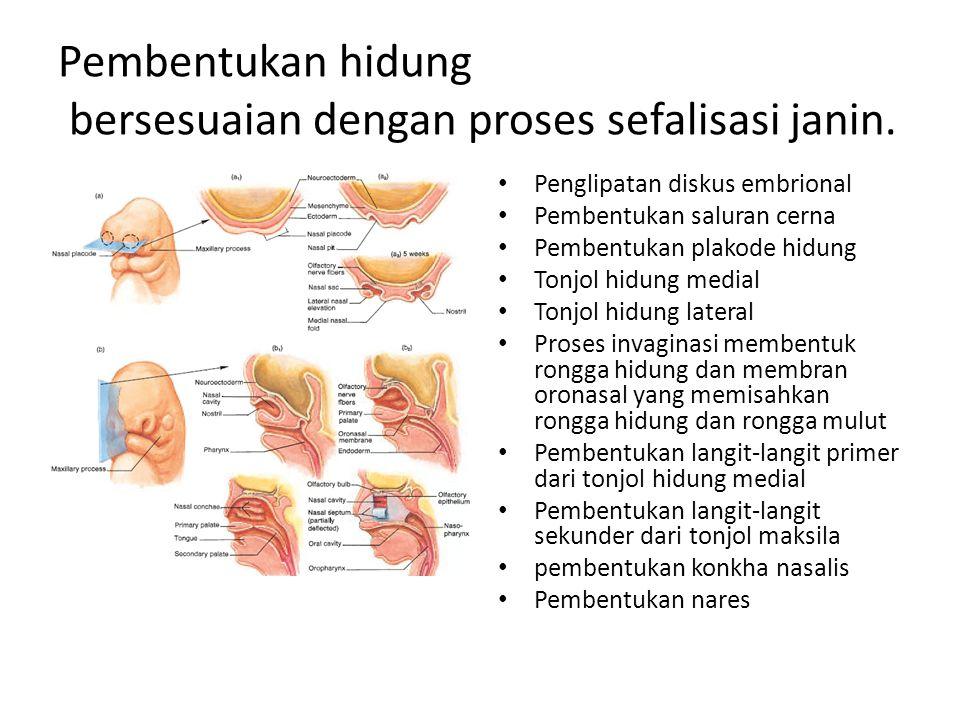 Pembentukan hidung bersesuaian dengan proses sefalisasi janin. Penglipatan diskus embrional Pembentukan saluran cerna Pembentukan plakode hidung Tonjo