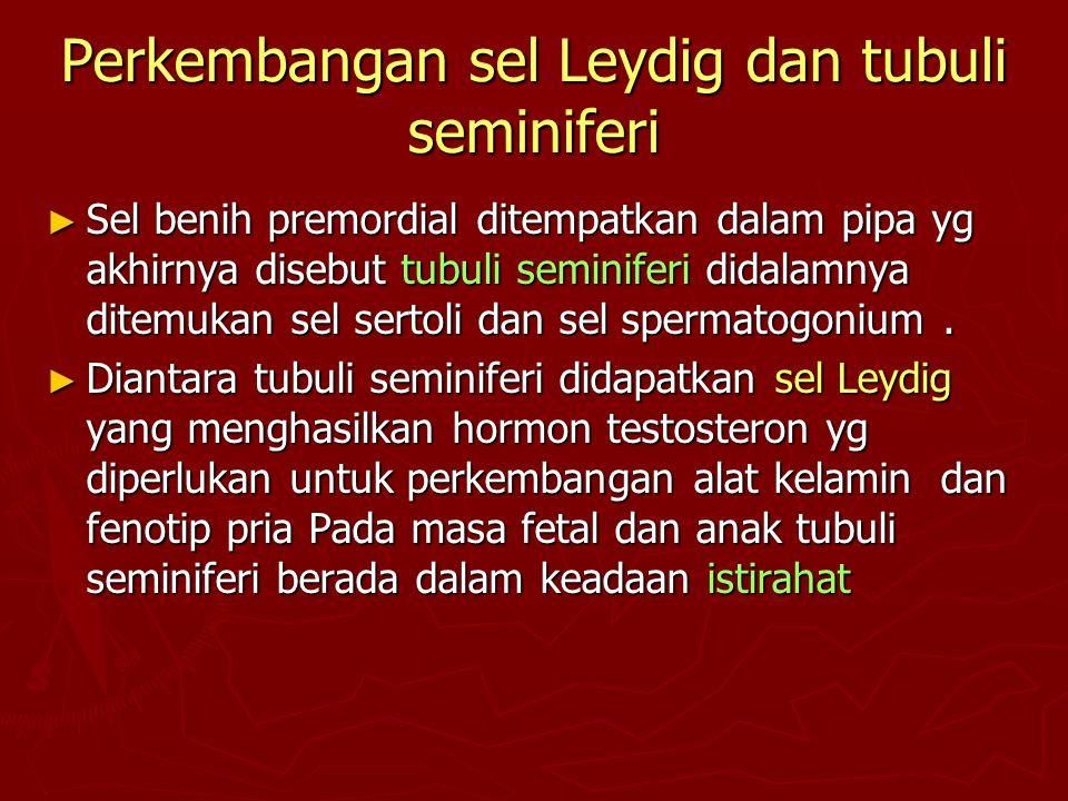 Perkembangan sel Leydig dan tubuli seminiferi ► Sel benih premordial ditempatkan dalam pipa yg akhirnya disebut tubuli seminiferi didalamnya ditemukan
