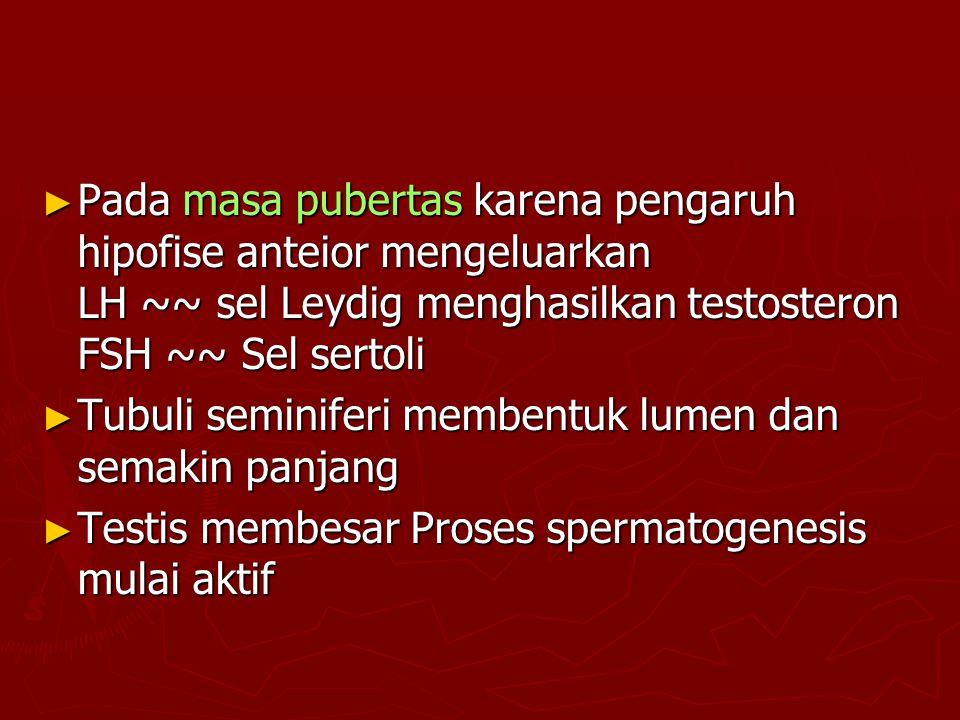 ► Pada masa pubertas karena pengaruh hipofise anteior mengeluarkan LH ~~ sel Leydig menghasilkan testosteron FSH ~~ Sel sertoli ► Tubuli seminiferi me