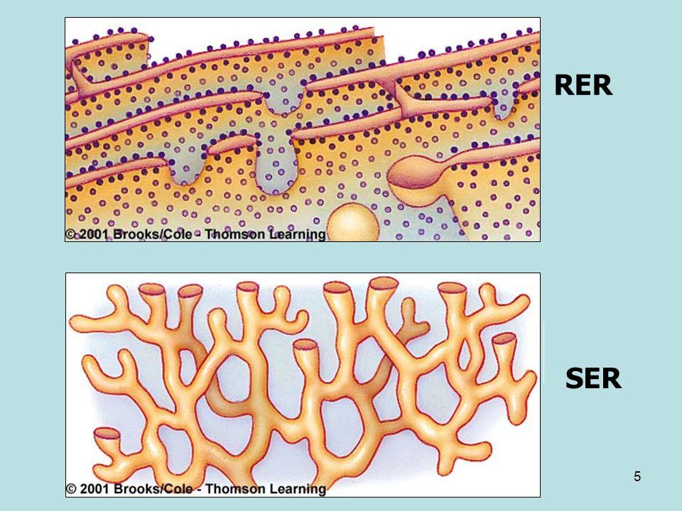 6 Komposisi kimia : Interkoneksi membran RE dapat dirusak, sehingga membran putus dan menyusun ulang membentuk vesikula yg disebut mikrosom Fraksi RE dapat diidentifikasi oleh keberadaan protein integral membran, NADH-cytochrome c reductase Detergen dapat digunakan untuk mengeluarkan ribosom dari RE, menunjukkan bahwa dua organel ini saling terikat melalui kekuatan hidrofobik Perbedaan utama diantara REK dan REH adalah adanya riboforin di membran REK Protein lain yg terletak di membran REK meliputi reseptor untuk partikel pengenal signal Membran mikrosom kira-kira berisi 40 % lipid (mayoritas phospholipid) dan 60 % protein Komposisi lipid menunjukkan sedikit atau tdk ada kolesterol dan jumlah yang cukup asam lemak tidak jenuh Beberapa protein membran mikrosom adalah enzim