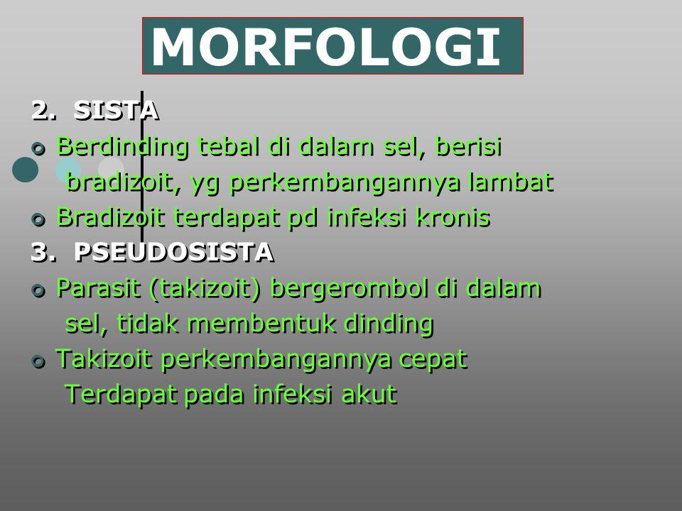 MORFOLOGI 2. SISTA Berdinding tebal di dalam sel, berisi bradizoit, yg perkembangannya lambat Bradizoit terdapat pd infeksi kronis 3. PSEUDOSISTA Para