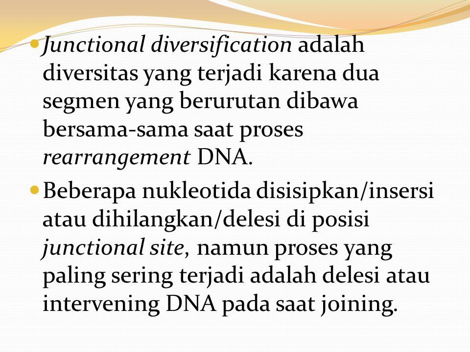 Junctional diversification adalah diversitas yang terjadi karena dua segmen yang berurutan dibawa bersama-sama saat proses rearrangement DNA. Beberapa