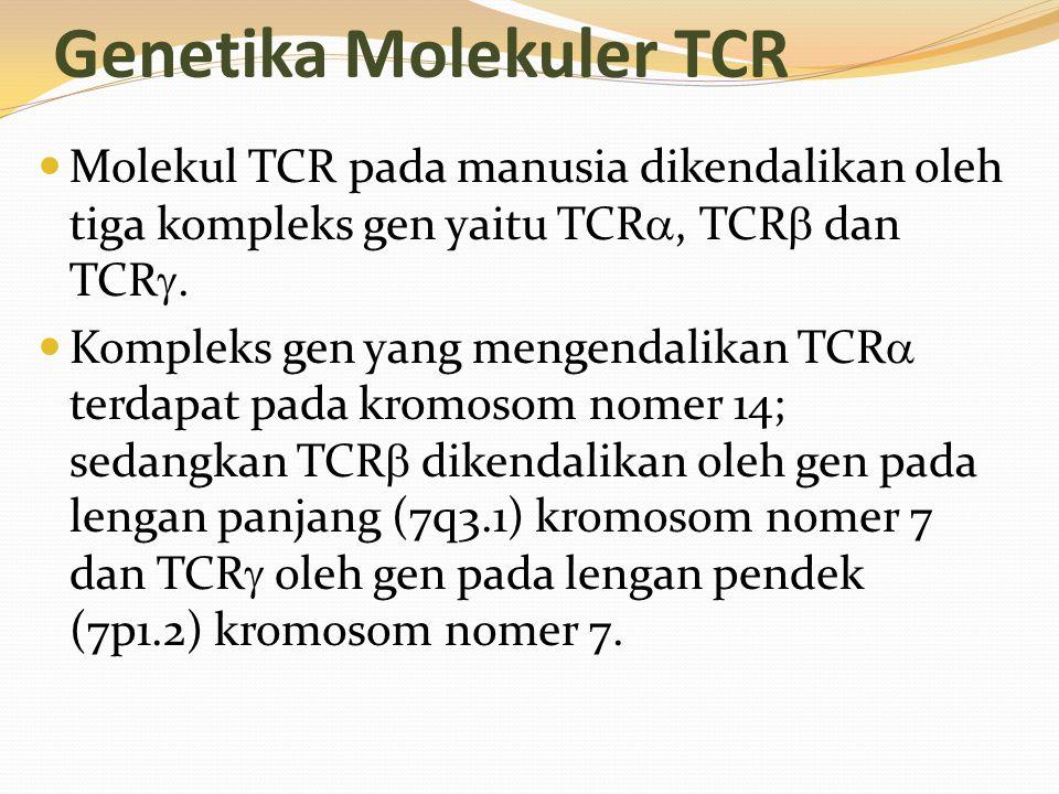 Genetika Molekuler TCR Molekul TCR pada manusia dikendalikan oleh tiga kompleks gen yaitu TCR , TCR  dan TCR . Kompleks gen yang mengendalikan TCR