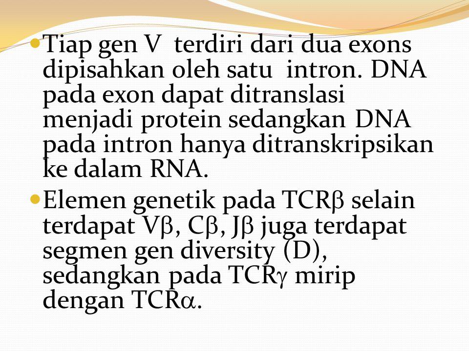 Tiap gen V terdiri dari dua exons dipisahkan oleh satu intron. DNA pada exon dapat ditranslasi menjadi protein sedangkan DNA pada intron hanya ditrans