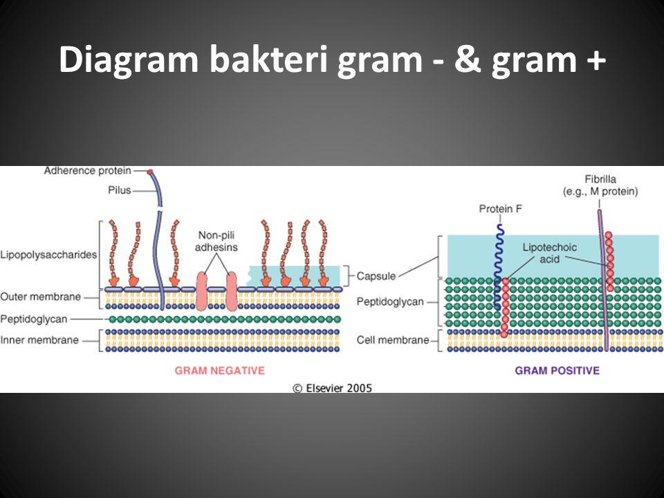 Diagram bakteri gram - & gram +