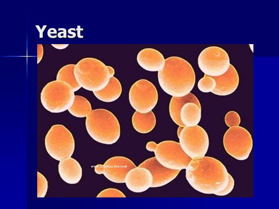 Yeast www.scientist.live.com