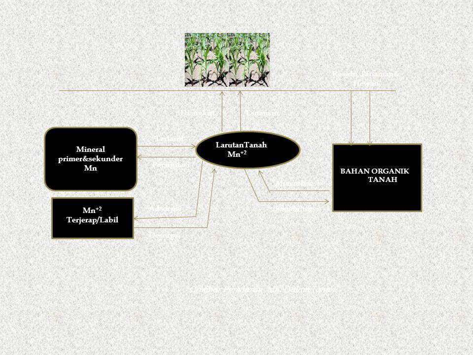 LarutanTanah Mn +2 Terjerap/Labil Gambar Peredaran Mn Dalam Tanah BAHAN ORGANIK TANAH Mineralisasi Immobilisasi Residu Tanaman& Hewan DiangkutTanaman Mineral primer&sekunder Mn Terlarut Persipitasi Desorpsi Adsorpsi