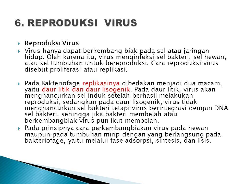  Reproduksi Virus  Virus hanya dapat berkembang biak pada sel atau jaringan hidup. Oleh karena itu, virus menginfeksi sel bakteri, sel hewan, atau s