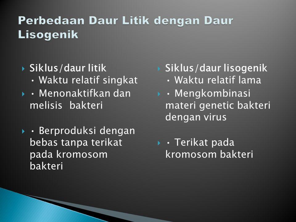  Siklus/daur litik Waktu relatif singkat  Menonaktifkan dan melisis bakteri  Berproduksi dengan bebas tanpa terikat pada kromosom bakteri  Siklus/
