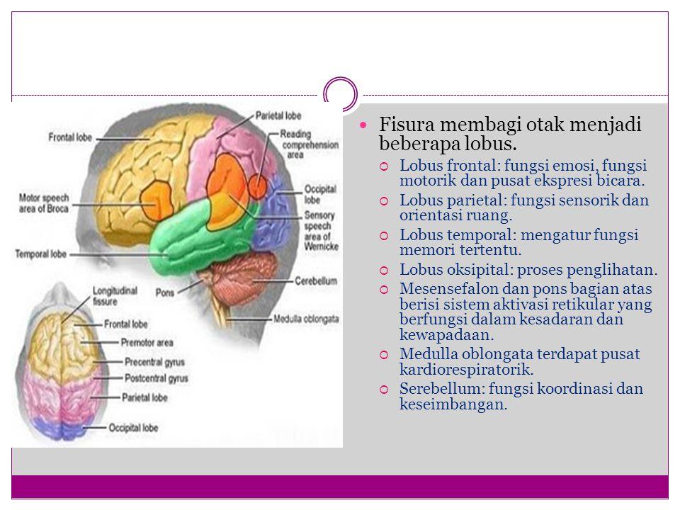 Fisura membagi otak menjadi beberapa lobus.