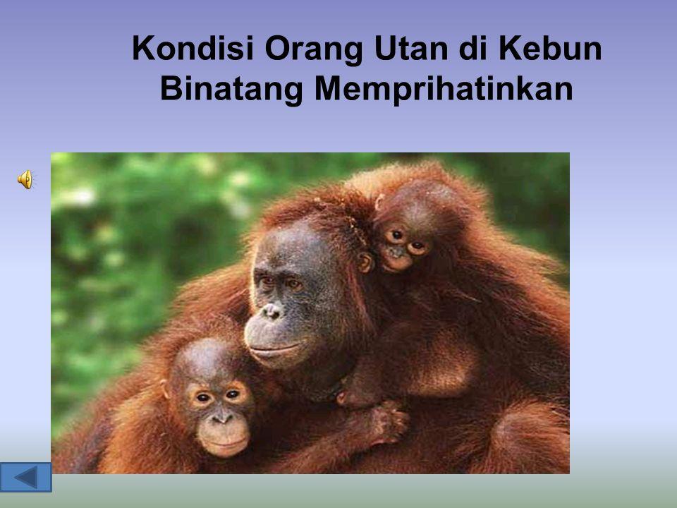 Kondisi Orang Utan di Kebun Binatang Memprihatinkan