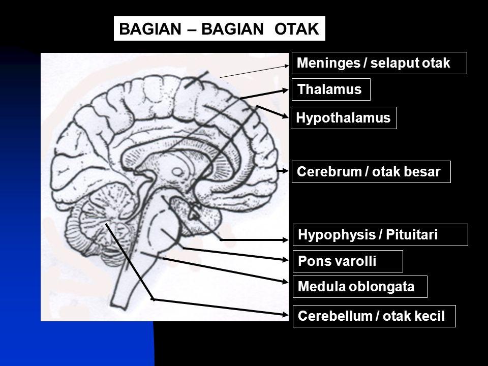 Antara duramater dan piamater terdapat lapisan arachnoid yang memiliki cairan cerebrospinalis Piamater (paling dalam) Duramater (paling luar) Meninges (selaput otak)