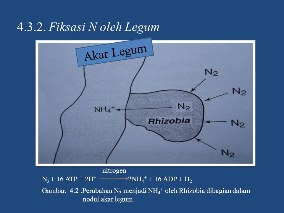 4.3.2. Fiksasi N oleh Legum Akar Legum Gambar. 4.2.Perubahan N 2 menjadi NH 4 + oleh Rhizobia dibagian dalam nodul akar legum nitrogen N 2 + 16 ATP +