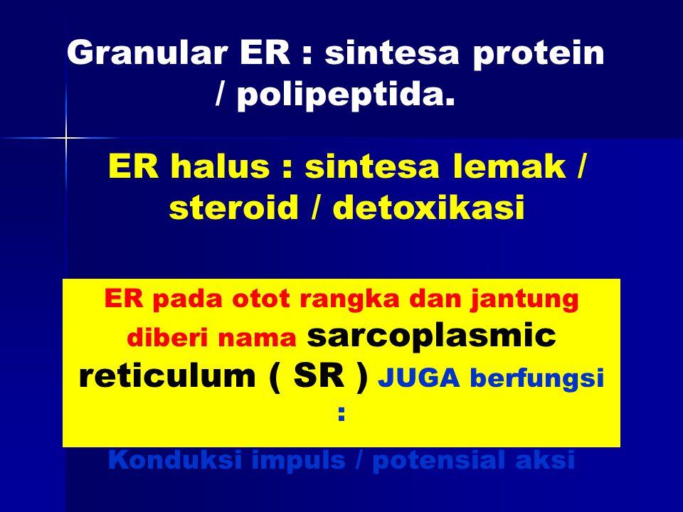 Granular ER : sintesa protein / polipeptida.