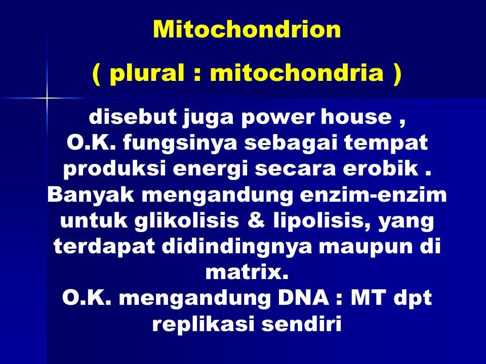 disebut juga power house, O.K. fungsinya sebagai tempat produksi energi secara erobik.