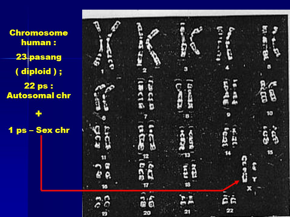 Chromosome human : 23 pasang ( diploid ) ; 22 ps : Autosomal chr + 1 ps – Sex chr