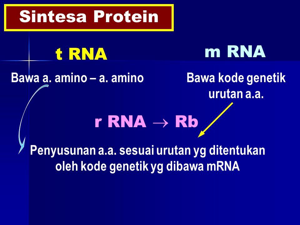 Sintesa Protein t RNA m RNA Bawa a. amino – a. amino r RNA  Rb Penyusunan a.a.