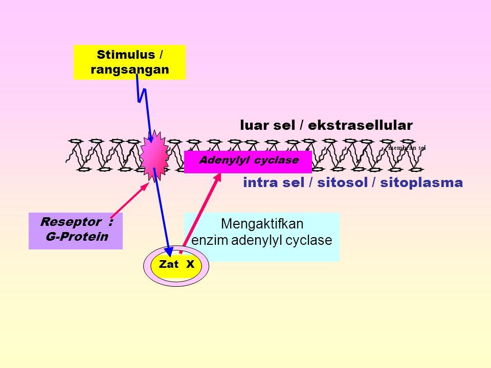 Reseptor : G-Protein intra sel / sitosol / sitoplasma membran sel luar sel / ekstrasellular Mengaktifkan enzim adenylyl cyclase Adenylyl cyclase Zat X Stimulus / rangsangan