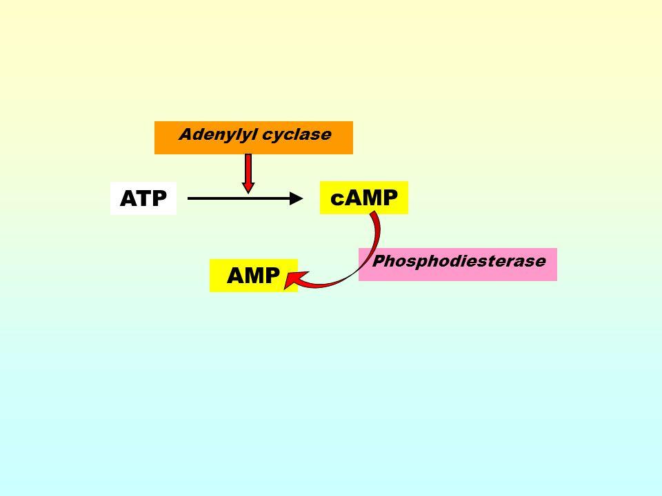 AMP Phosphodiesterase ATP cAMP Adenylyl cyclase