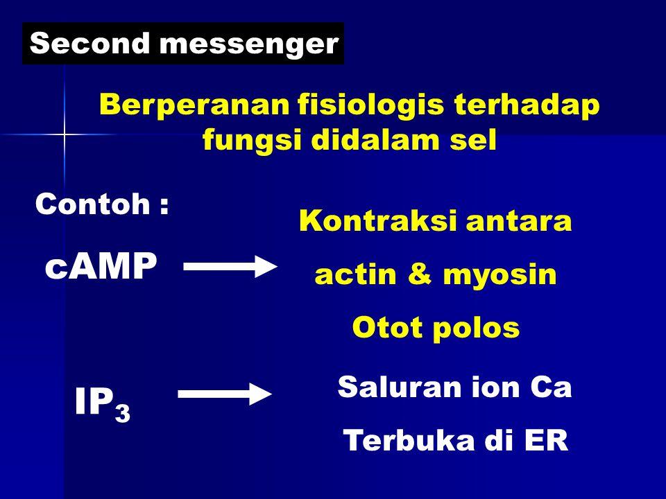 Second messenger Berperanan fisiologis terhadap fungsi didalam sel Contoh : cAMP IP 3 Kontraksi antara actin & myosin Otot polos Saluran ion Ca Terbuka di ER