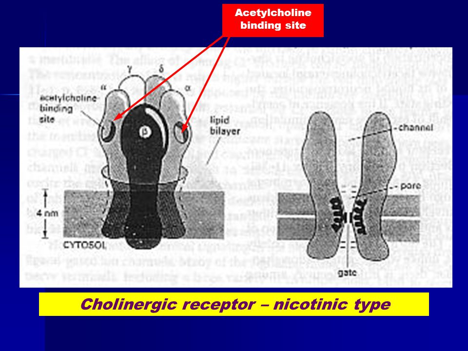 Acetylcholine binding site Cholinergic receptor – nicotinic type