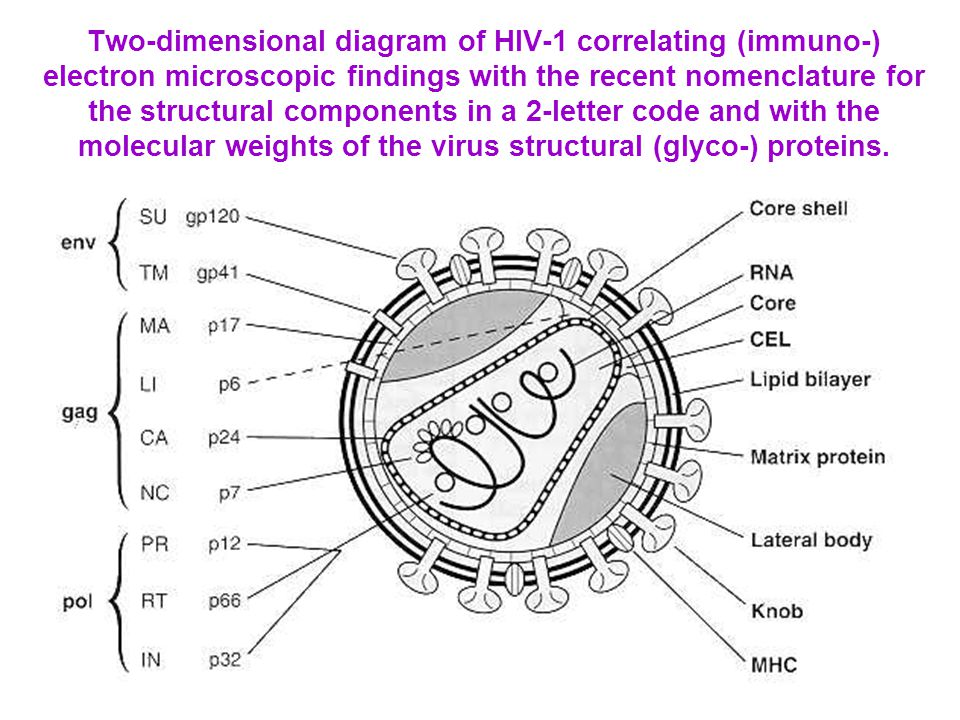 Two-dimensional diagram of HIV-1 correlating (immuno-) electron microscopic findings with the recent nomenclature for the structural components in a 2