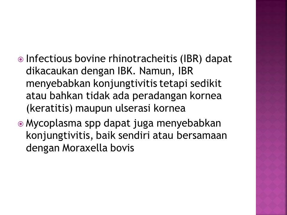  Infectious bovine rhinotracheitis (IBR) dapat dikacaukan dengan IBK. Namun, IBR menyebabkan konjungtivitis tetapi sedikit atau bahkan tidak ada pera
