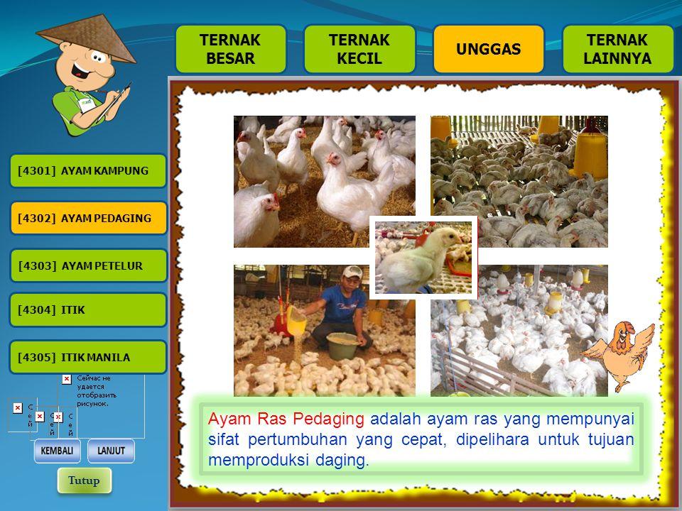 [4301] AYAM KAMPUNG [4302] AYAM PEDAGING [4303] AYAM PETELUR [4304] ITIK [4305] ITIK MANILA TERNAK BESAR TERNAK KECIL TERNAK LAINNYA UNGGAS Ayam Kampung adalah ayam kampung yang biasa dipelihara oleh masyarakat, yang ditujukan untuk produksi telur atau daging.