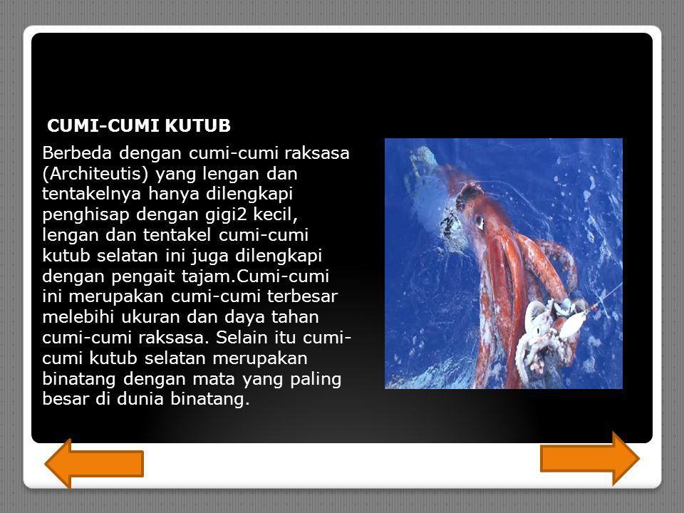 CUMI-CUMI KUTUB Berbeda dengan cumi-cumi raksasa (Architeutis) yang lengan dan tentakelnya hanya dilengkapi penghisap dengan gigi2 kecil, lengan dan tentakel cumi-cumi kutub selatan ini juga dilengkapi dengan pengait tajam.Cumi-cumi ini merupakan cumi-cumi terbesar melebihi ukuran dan daya tahan cumi-cumi raksasa.