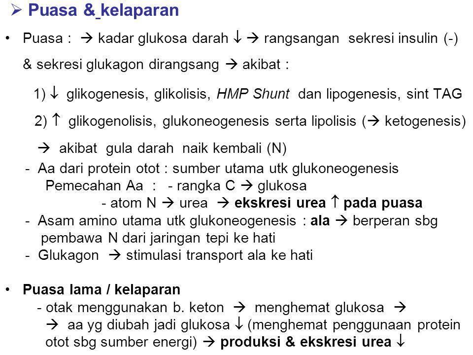  Puasa & kelaparan Puasa :  kadar glukosa darah   rangsangan sekresi insulin (-) & sekresi glukagon dirangsang  akibat : 1)  glikogenesis, glikolisis, HMP Shunt dan lipogenesis, sint TAG 2)  glikogenolisis, glukoneogenesis serta lipolisis (  ketogenesis)  akibat gula darah naik kembali (N) - Aa dari protein otot : sumber utama utk glukoneogenesis Pemecahan Aa : - rangka C  glukosa - atom N  urea  ekskresi urea  pada puasa - Asam amino utama utk glukoneogenesis : ala  berperan sbg pembawa N dari jaringan tepi ke hati - Glukagon  stimulasi transport ala ke hati Puasa lama / kelaparan - otak menggunakan b.