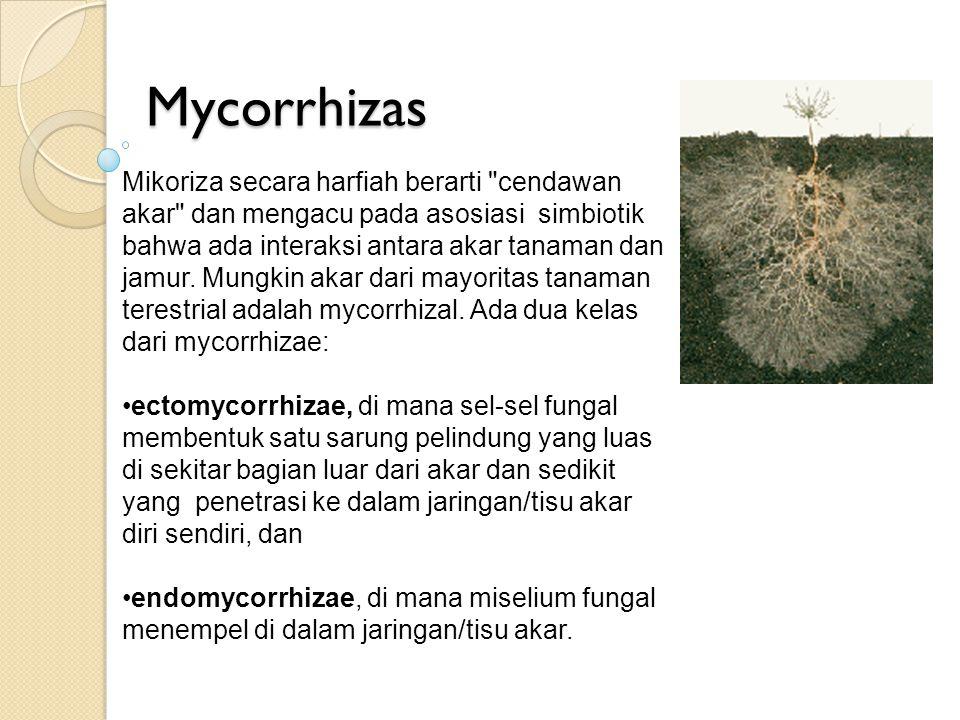 Mycorrhizas Mikoriza secara harfiah berarti