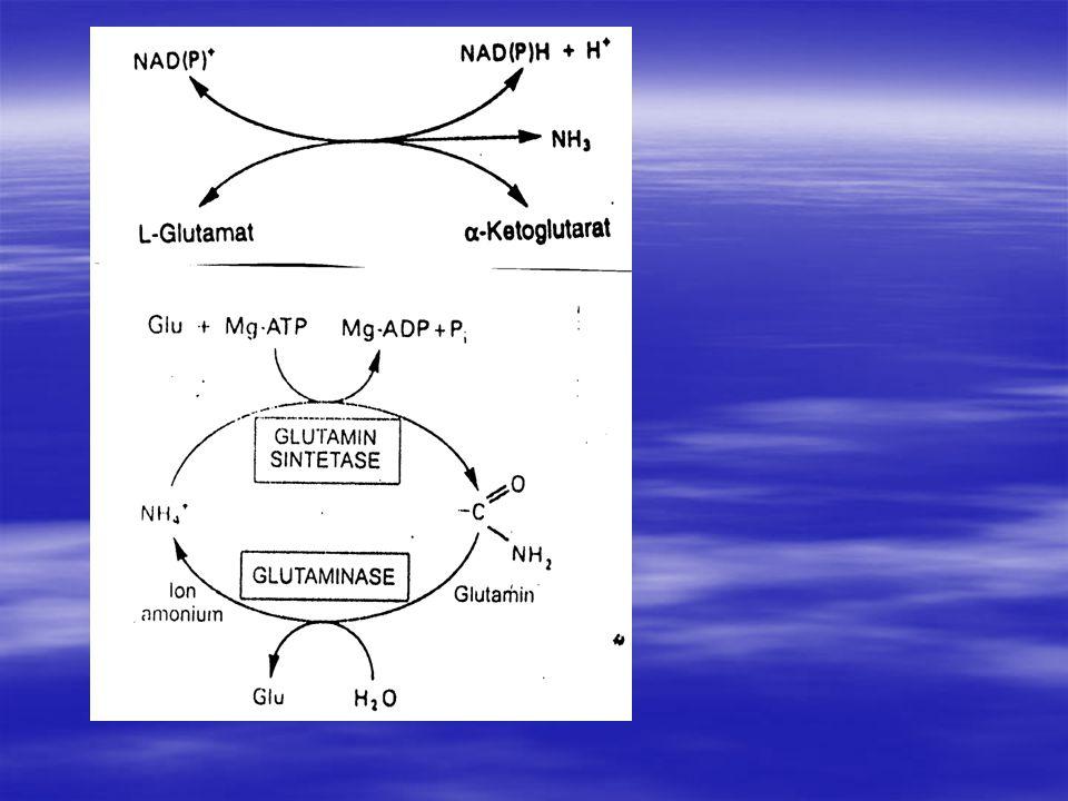 KATABOLISME PROTEIN DAN NITROGEN ASAM AMINO Cara nitrogen dikeluarkan dr asam amino serta diubah menjadi urea, dan permasalahan medis yg terjadi bila terdapat gangguan pd reaksi ini.