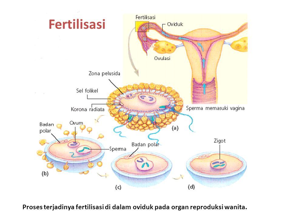 Fertilisasi Proses terjadinya fertilisasi di dalam oviduk pada organ reproduksi wanita.