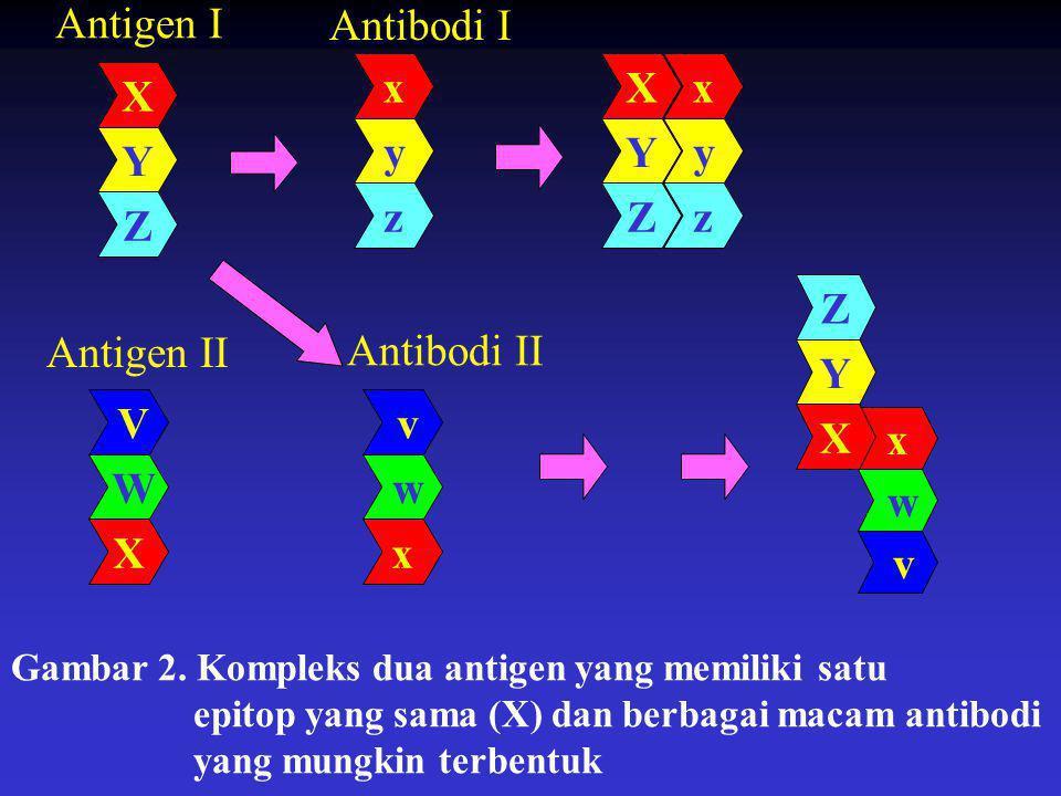 x y z x y z Antigen I Antibodi I Antigen II v w x v w x X Y Z X Y Z V W XX Y Z Gambar 2. Kompleks dua antigen yang memiliki satu epitop yang sama (X)