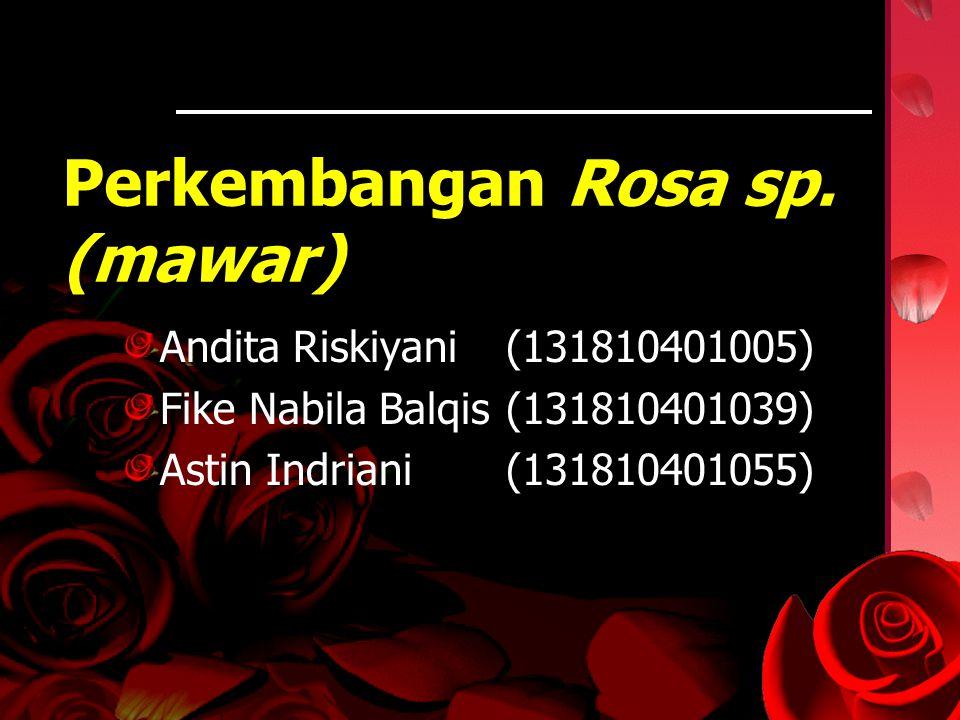kesimpulan Bunga mawar memerlukan waktu 17 hari dari kuncup sampai mekar sempurna Pada perkembangan mawar, kuncup semakin membesar dan pedicellus semakin panjang.