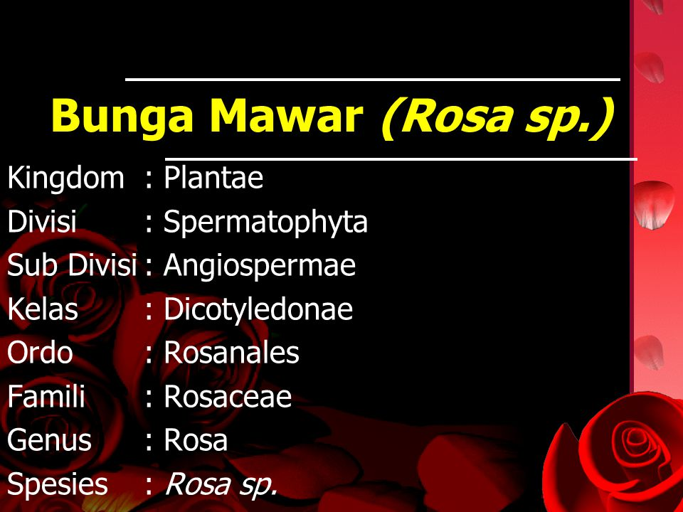 Bunga Mawar (Rosa sp.) Kingdom: Plantae Divisi: Spermatophyta Sub Divisi: Angiospermae Kelas: Dicotyledonae Ordo: Rosanales Famili: Rosaceae Genus: Ro