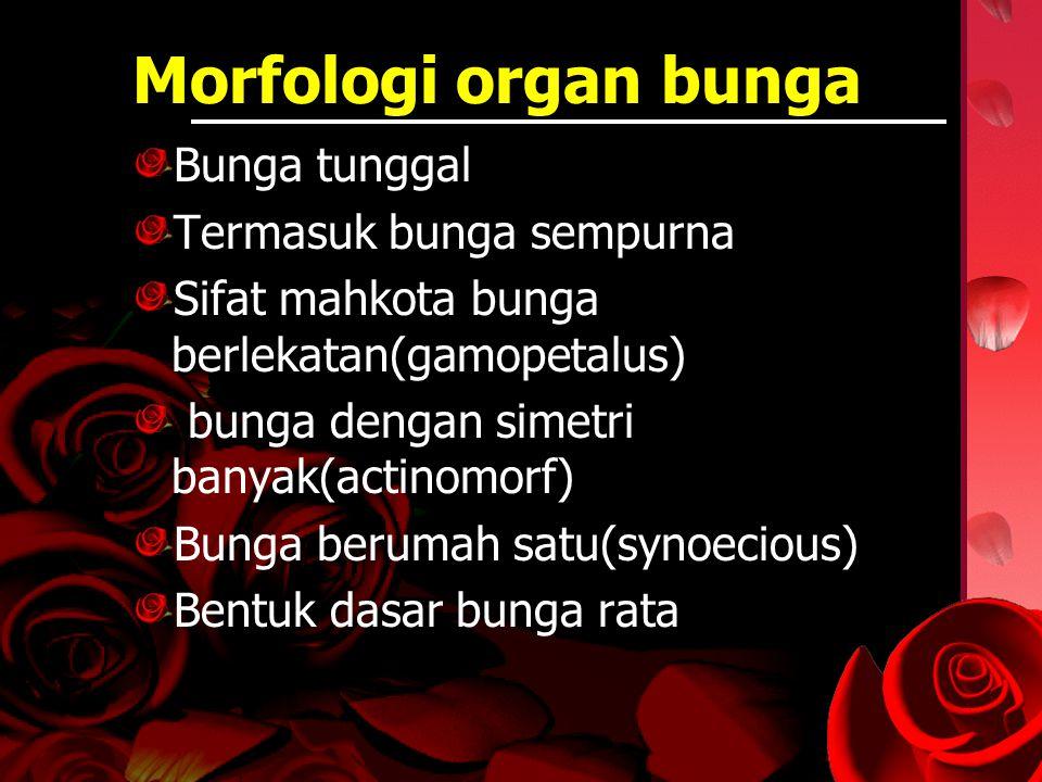 Morfologi organ bunga Bunga tunggal Termasuk bunga sempurna Sifat mahkota bunga berlekatan(gamopetalus) bunga dengan simetri banyak(actinomorf) Bunga