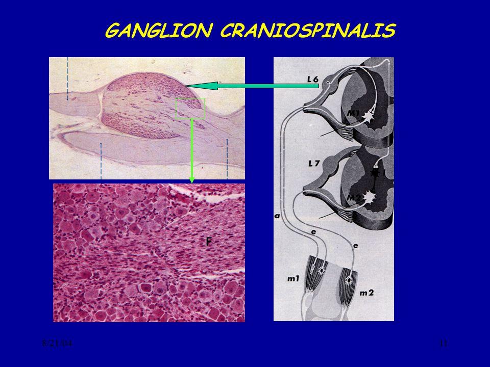 8/21/0411 GANGLION CRANIOSPINALIS