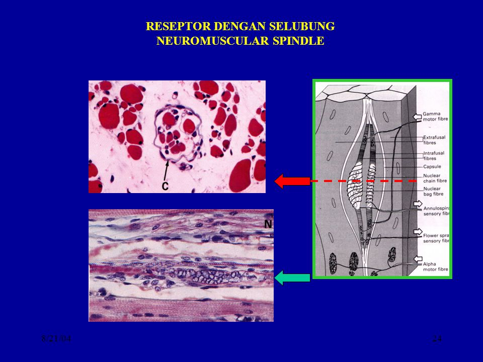 8/21/0424 RESEPTOR DENGAN SELUBUNG NEUROMUSCULAR SPINDLE