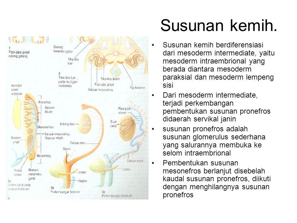 Susunan kemih. Susunan kemih berdiferensiasi dari mesoderm intermediate, yaitu mesoderm intraembrional yang berada diantara mesoderm paraksial dan mes