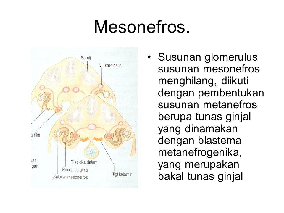 Mesonefros. Susunan glomerulus susunan mesonefros menghilang, diikuti dengan pembentukan susunan metanefros berupa tunas ginjal yang dinamakan dengan