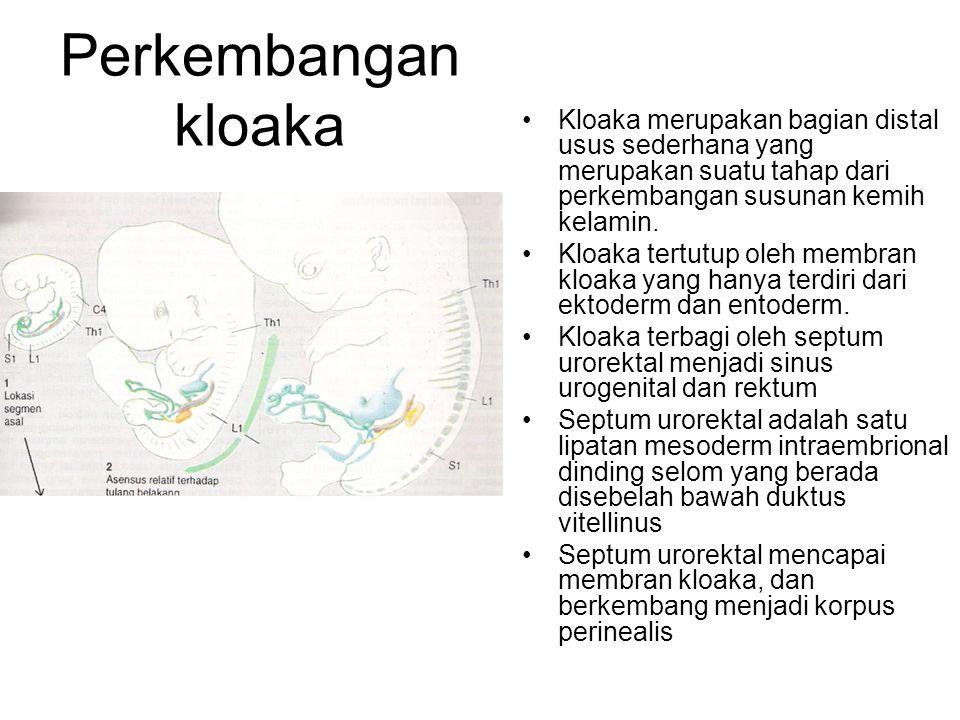 Perkembangan kloaka Kloaka merupakan bagian distal usus sederhana yang merupakan suatu tahap dari perkembangan susunan kemih kelamin. Kloaka tertutup
