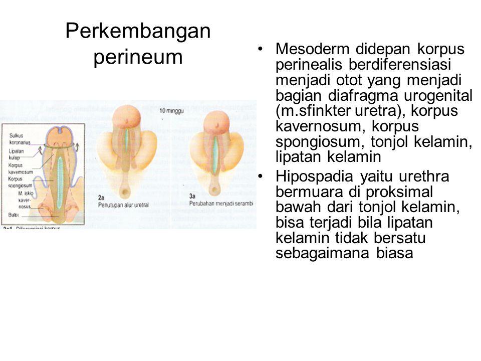 Perkembangan perineum Mesoderm didepan korpus perinealis berdiferensiasi menjadi otot yang menjadi bagian diafragma urogenital (m.sfinkter uretra), ko