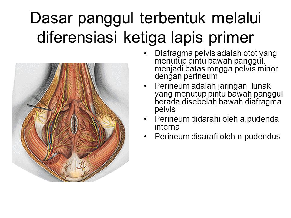 Dasar panggul terbentuk melalui diferensiasi ketiga lapis primer Diafragma pelvis adalah otot yang menutup pintu bawah panggul, menjadi batas rongga p