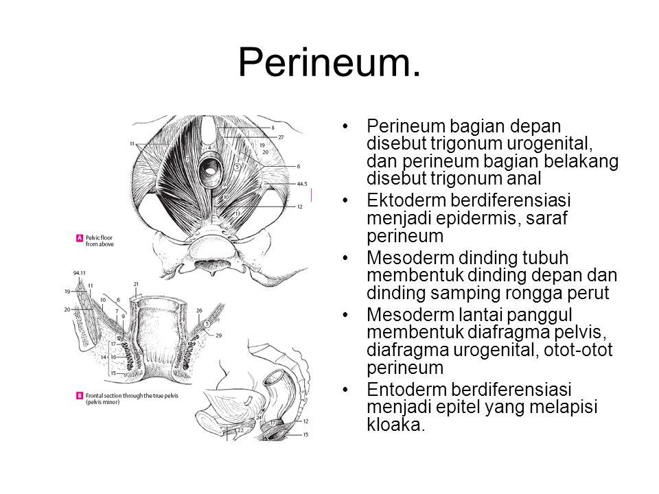 Perineum. Perineum bagian depan disebut trigonum urogenital, dan perineum bagian belakang disebut trigonum anal Ektoderm berdiferensiasi menjadi epide