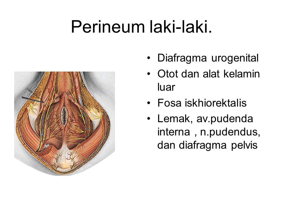 Perineum laki-laki. Diafragma urogenital Otot dan alat kelamin luar Fosa iskhiorektalis Lemak, av.pudenda interna, n.pudendus, dan diafragma pelvis