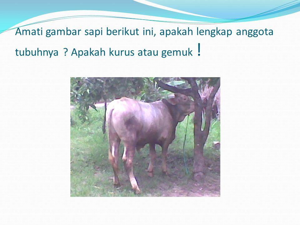 Amati gambar sapi berikut ini, apakah lengkap anggota tubuhnya ? Apakah kurus atau gemuk !